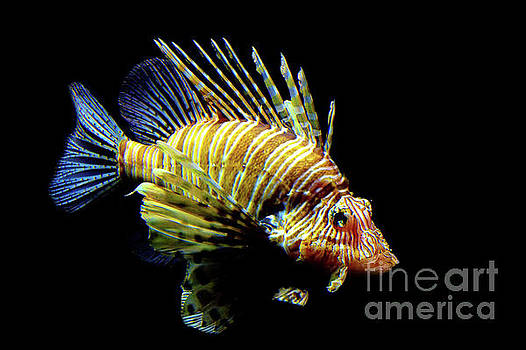 Red Lionfish by Jan Brons