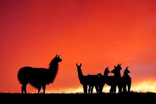 Red Llama Sunset 2 by Bryan Smith