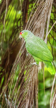 Red-lored Parrot Costa Rica by Joan Carroll