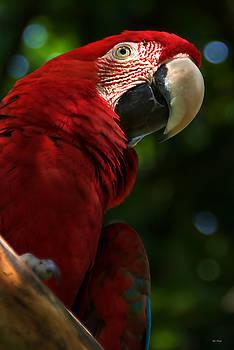 Bibi Rojas - Red Macaw 2