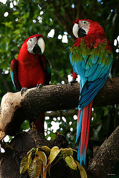 Bibi Rojas - Red Macaws