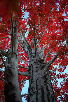 Red Maple by Brady Lane