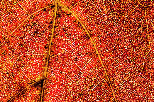 Red Maple Leaf Close-up by Lonnie Paulson