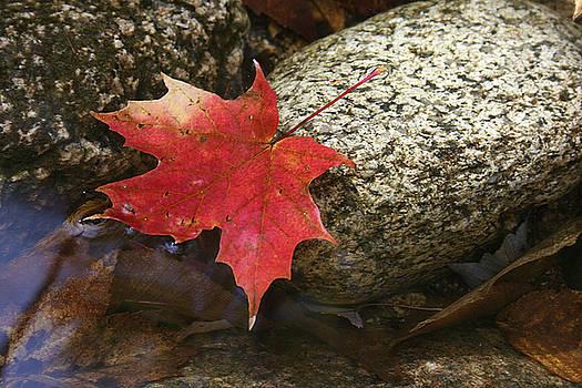 Kathy Stanczak - Red Maple Leaf