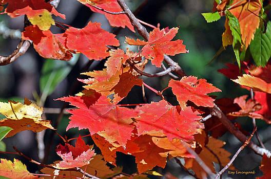 Kay Lovingood - Red Maple Leaves