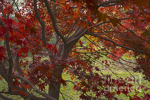 Red Maple by Lori Amway