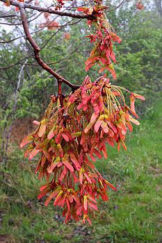 Red Maple Samaras in Spring by Matt Cormons