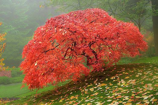 Red Maple Tree by Lori Grimmett