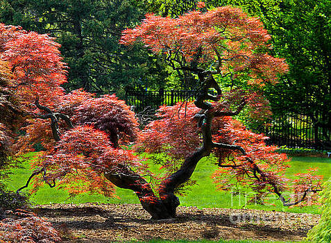 Red Maple Tree by Roger Becker