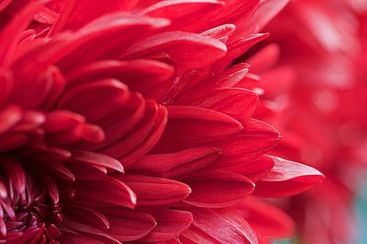 Red Mum by Jim Gillen