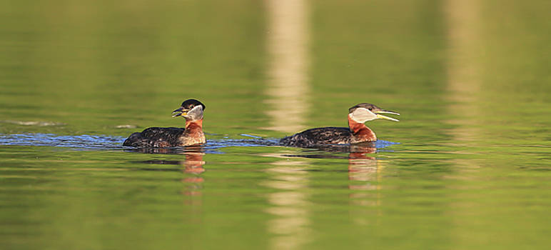 Red Neck Grebes by Sam Amato