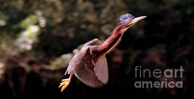 Red Neck  Heron by Lennie Malvone