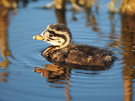 Red-Necked Grebe Chick by James Peterson