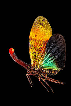 Red Nose Lanternfly by Gary Shepard