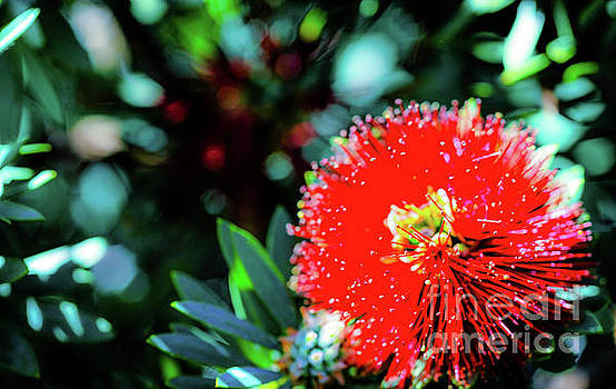 Red Ohia Plants and Flowers  by D Davila