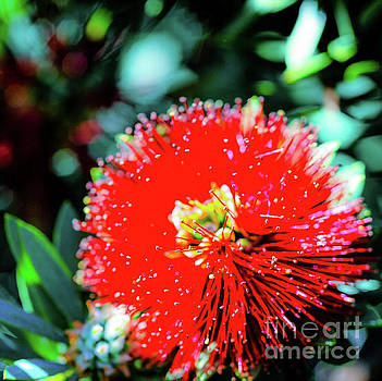 Red Ohia - Tropical Hawaii Plants and Flowers by D Davila