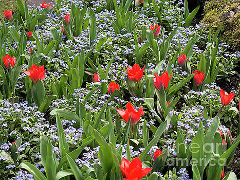 Red orange tulips and blue forget me nots in spring by Louise Heusinkveld