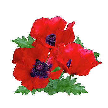 Red oriental poppies by R V James