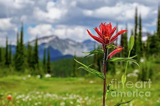 Red Paintbrush on Mount Revelstoke by Dave Matchett