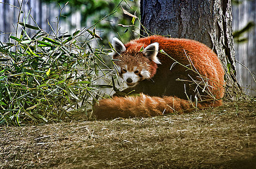 Red Panda by Cheryl Cencich
