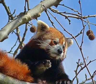 Red Panda Exploring by Margaret Saheed