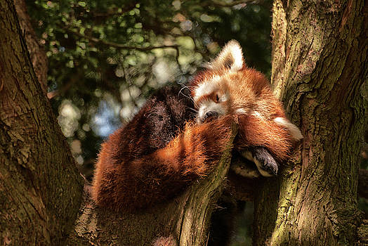 Red Panda by Jay Lethbridge