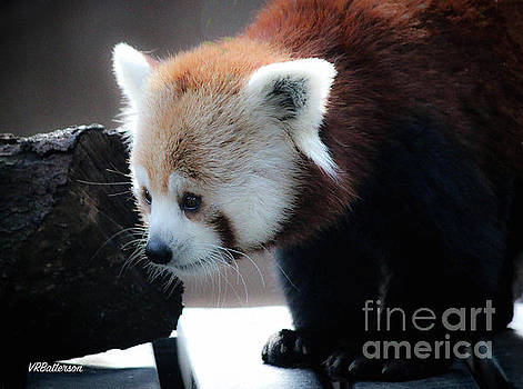 Red Panda Memphis Zoo by Veronica Batterson