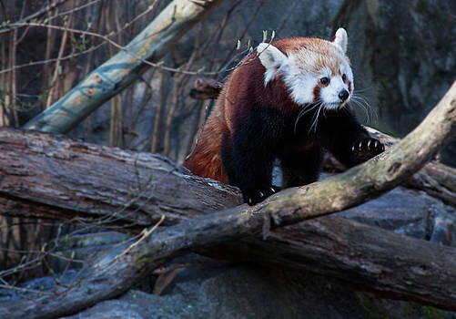 Red Panda on a branch by Ruth Jolly