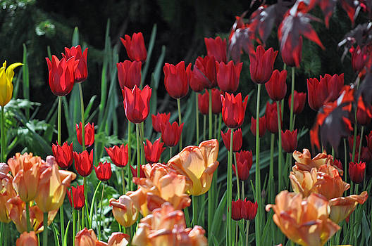 Debra  Miller - Red Passion Tulip Blend