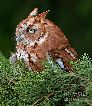 Red Phase Eastern Screech Owl by Lisa Holmgreen