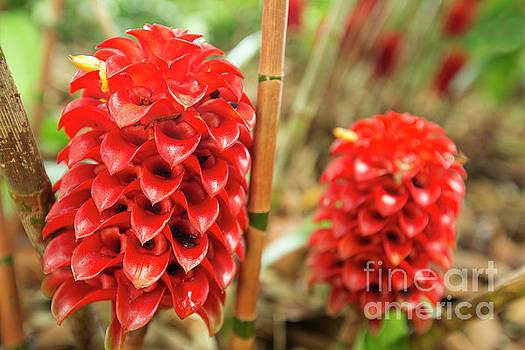 Charmian Vistaunet - Red Pineapple Ginger Plant