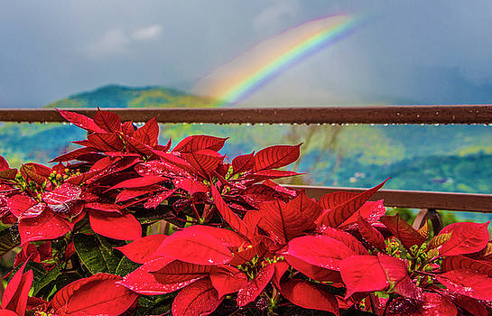 Venetia Featherstone-Witty - Red Poinsettias and Rainbow