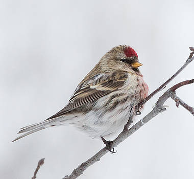 Dee Carpenter - Red Poll Male