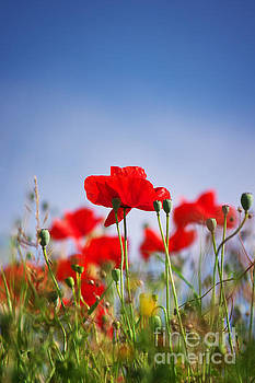 Angela Doelling AD DESIGN Photo and PhotoArt - Red Poppies