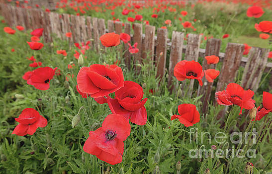 Red Poppies by Cathy Alba