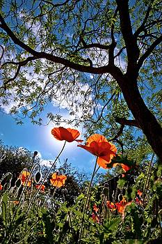 Red Poppies in Bloom by Linda Unger
