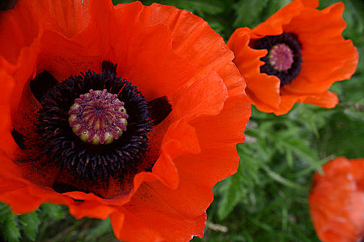Red Poppies by Lynne Guimond Sabean
