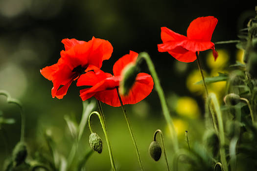 Red Poppies by Nigel Spencer