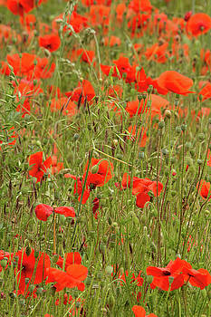 Red Poppies by Wayne Molyneux