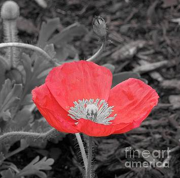 Red Poppy Flower by Chad and Stacey Hall