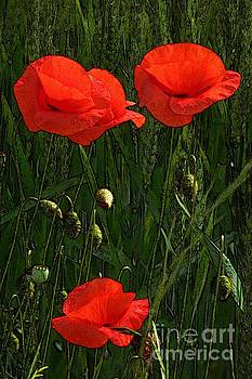 Red Poppy Flowers In Grassland 3 by Jean Bernard Roussilhe