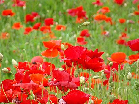 Baslee Troutman - Red Poppy Flowers Meadow art prints Poppies Baslee Troutman
