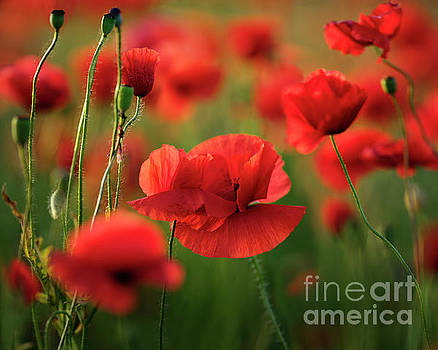 Red Poppy Flowers by Michael Lesiv