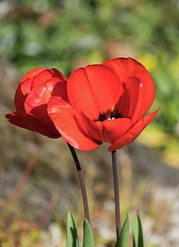 Red Poppy  by Naomi Burgess