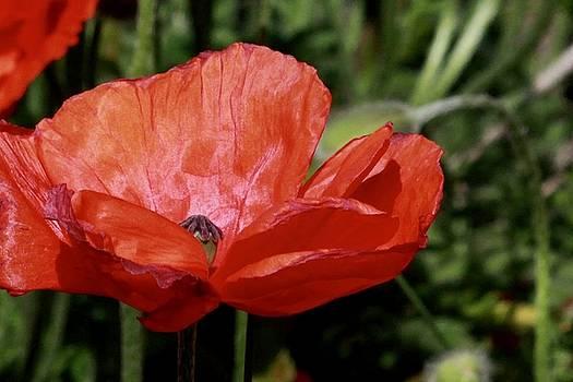 Red Poppy by Sarah Lilja