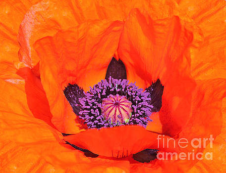 Red Poppy by Susan Wall