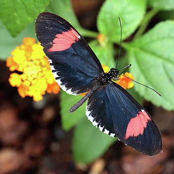 Red Postman butterfly feeding by Paul Cowan