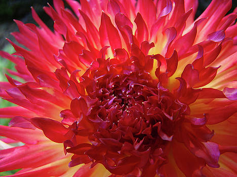 Baslee Troutman - Red Purple DAHLIA Flower Summer Dahlia Garden Baslee Troutman