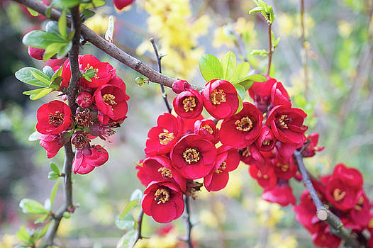Red Quince by Crystal Hoeveler