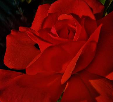 Red Red Rose  by Daniele Smith